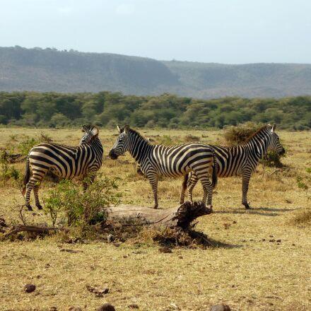 zebra, tanzania, africa, Panasonic DMC-FS3
