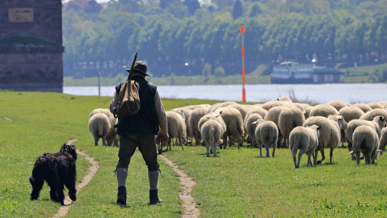 sheep, dog, schäfer photography