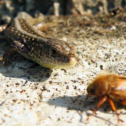 lizard, sand lizard, maik, Fujifilm FinePix S8100fd