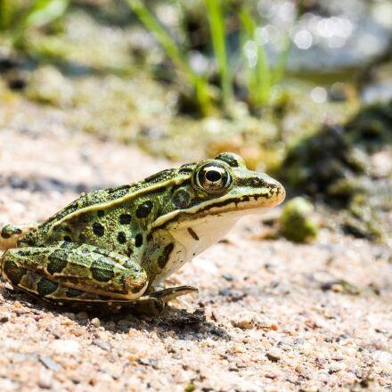 leopard frog, portrait, green, Canon EOS 5D