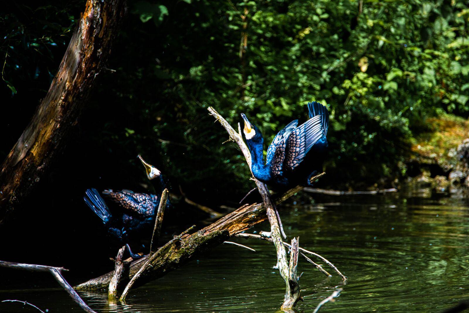 cormorant, branch, river