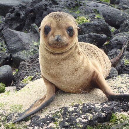 sea lion, galapagos, zalophus, Sony DSC-W230