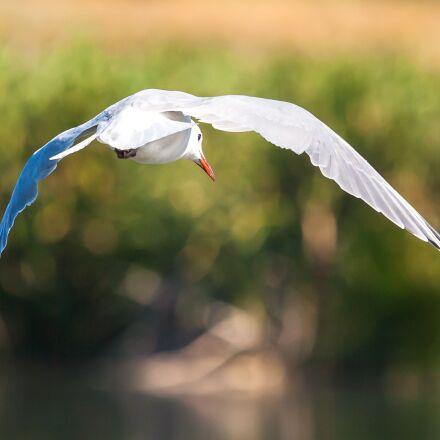hartlaub's gull in flight, Canon EOS-1D MARK II N