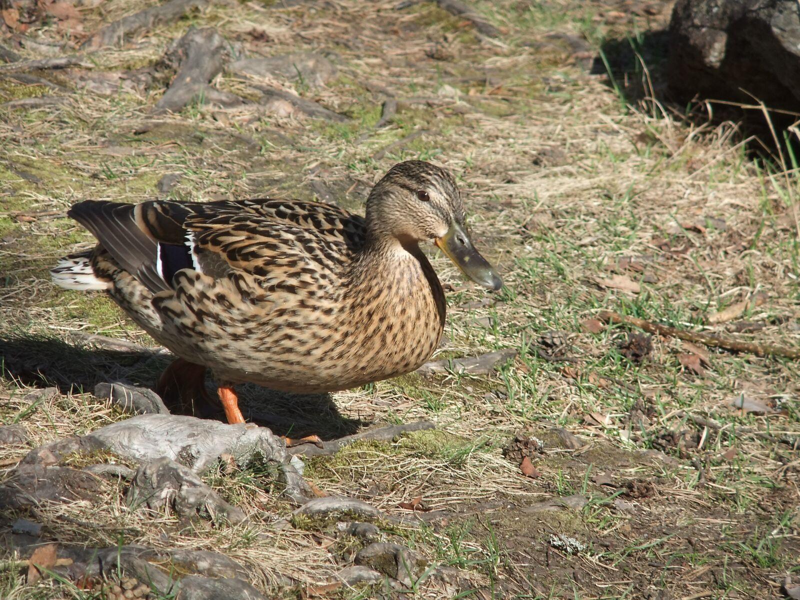 duck, earth, grass