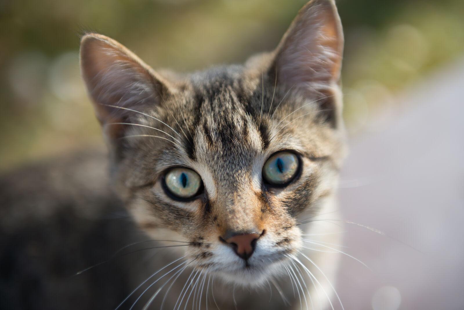 "Nikon D800 sample photo. ""Brown, tabby, cat"" photography"