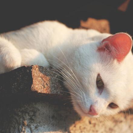 animal, white, cat, white, Canon EOS 70D