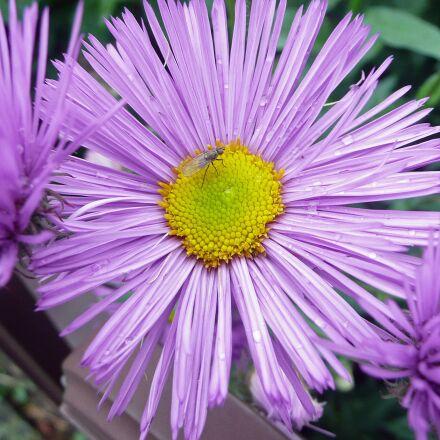 flower, blossom, bloom, Panasonic DMC-TZ2