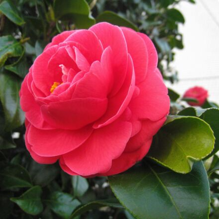 camellia, flowers, leaf, Canon IXY DIGITAL 910 IS