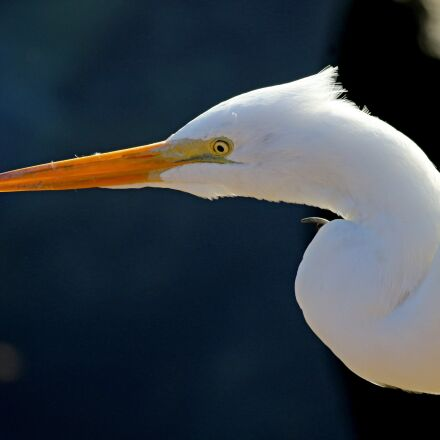 great egret, waterfowl, bird, Canon EOS 7D MARK II