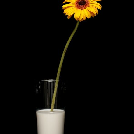 flower, yellow, daisy, Canon EOS 40D