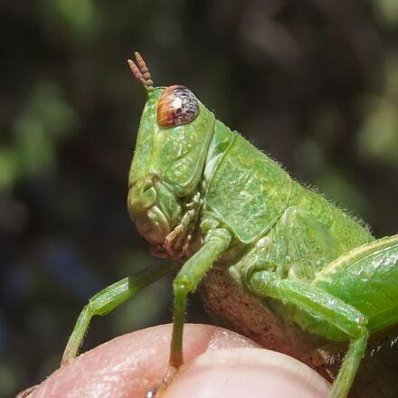 grasshopper nymph, green, insect, Fujifilm FinePix S2960