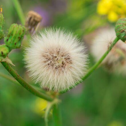 flower, dandelion, plant, Canon EOS 6D