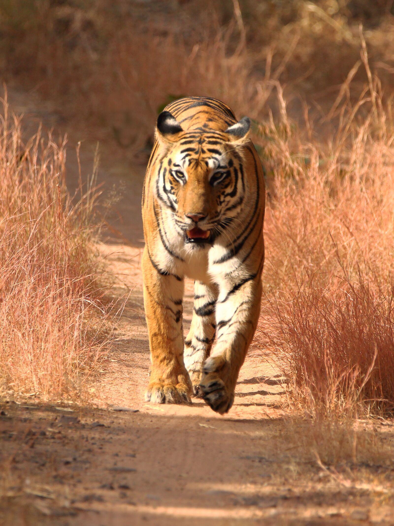 "Canon EOS 5D Mark II sample photo. ""Tiger, wildlife, jungle"" photography"