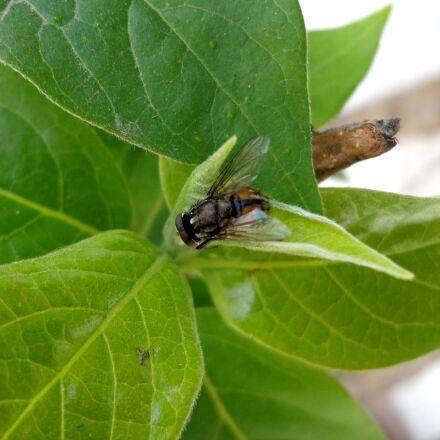 fly, flower fly, plant, Sony DSC-W650