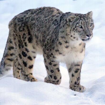 snow leopard, predator, big, Sony ILCA-77M2