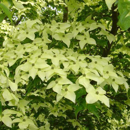 tree, flowering, botanical, Sony DSC-P10