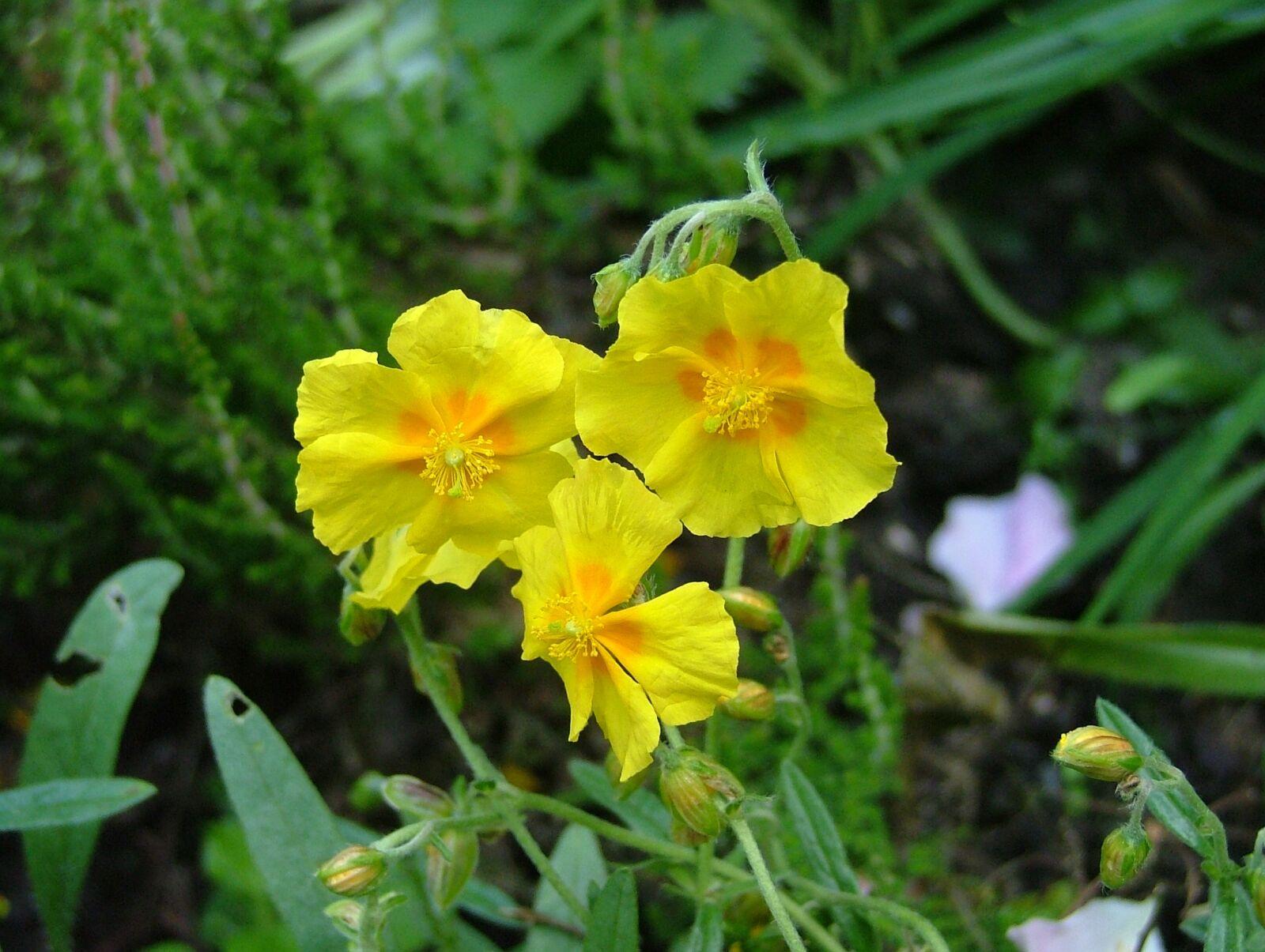 yellow flowers, flower, yellow