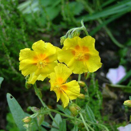 yellow flowers, flower, yellow, Fujifilm FinePix S5000