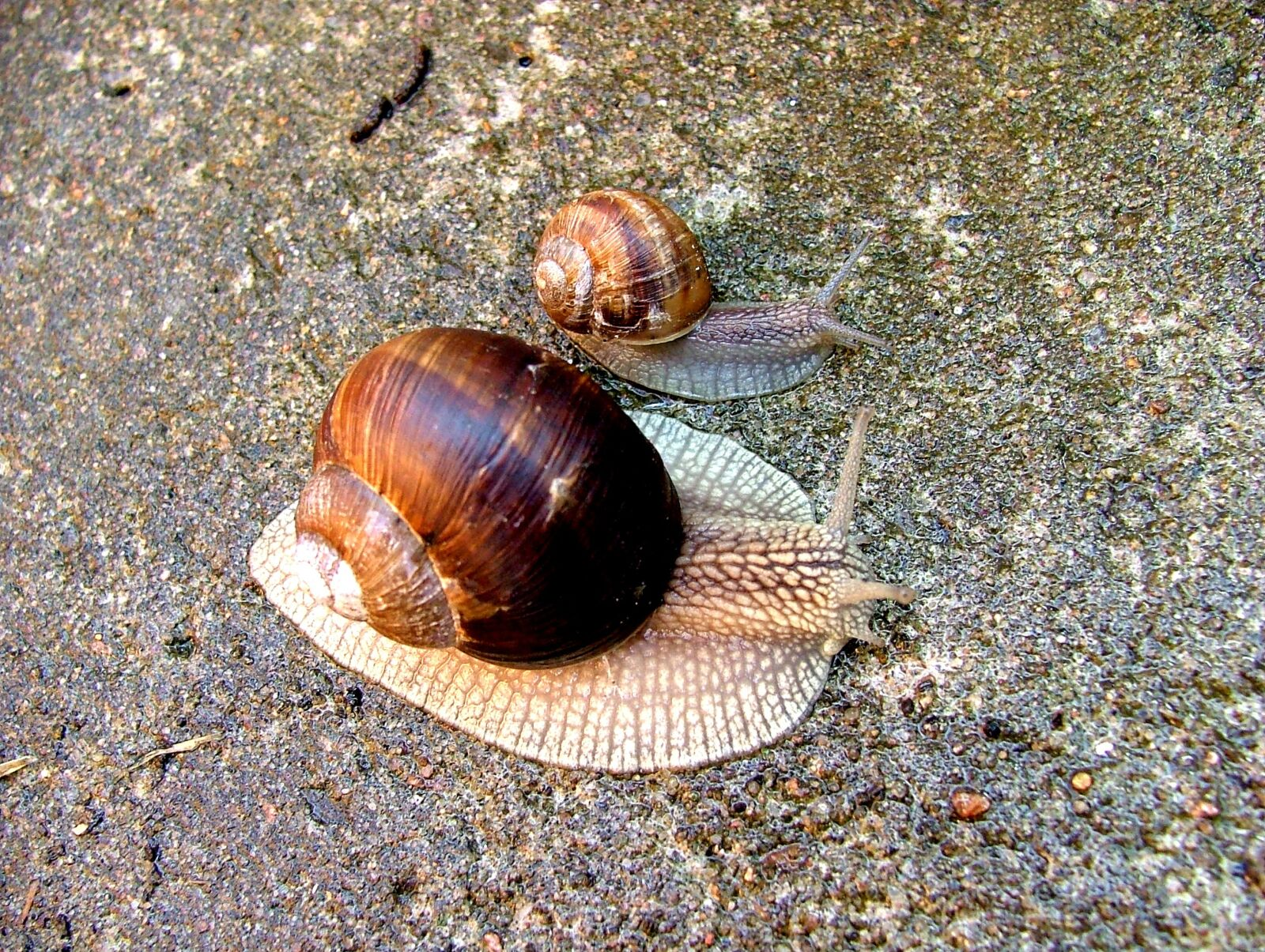 worm, snail, conch