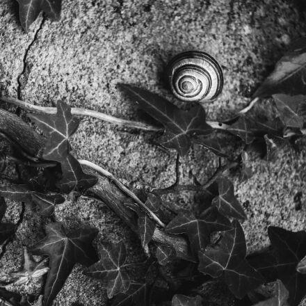 snail, ivy, wall, Canon EOS 400D DIGITAL
