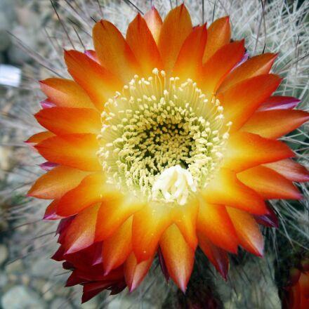 cactus, flower, blooming cactus, Fujifilm FinePix J110W