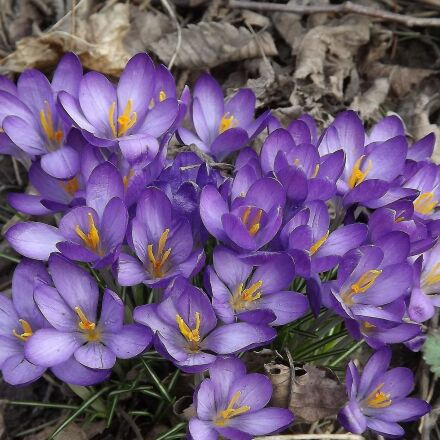crocus, flowers, spring, Fujifilm FinePix S3400