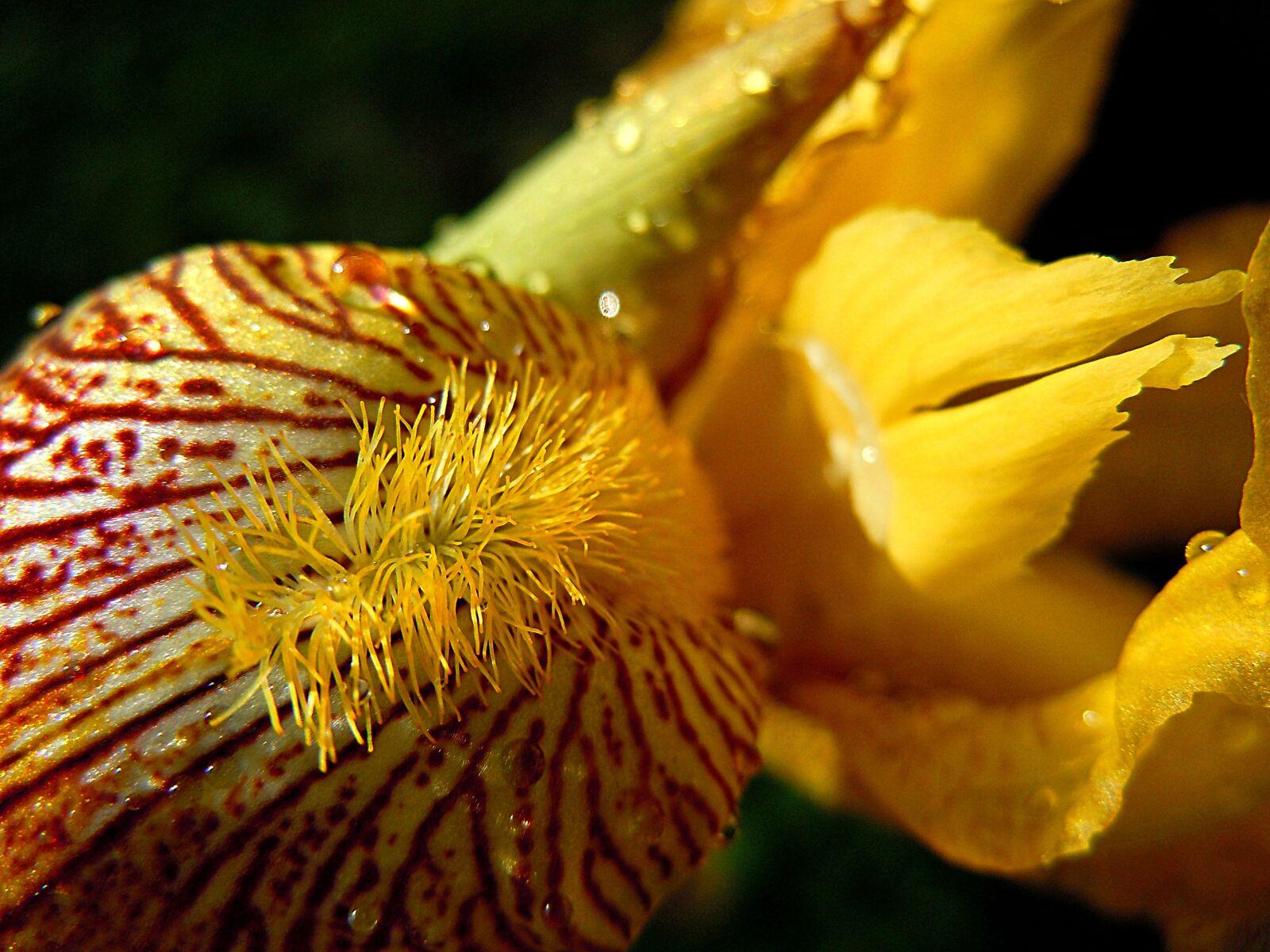 "Nikon Coolpix S8000 sample photo. ""Iris, yellow, flower"" photography"