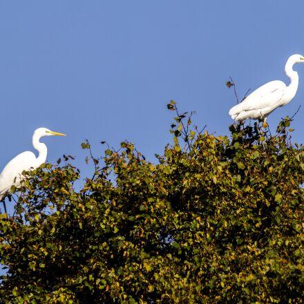 egret, bird, water bird, Olympus E-5