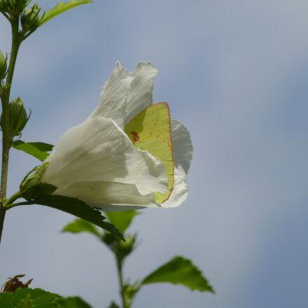 butterfly, flower, spring, Panasonic DMC-ZS20