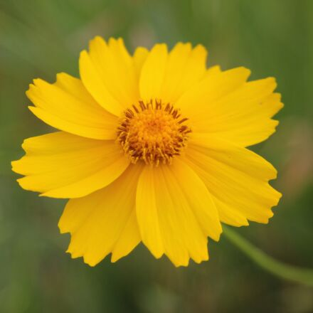 yellow flowers, spring flowers, Canon EOS 60D
