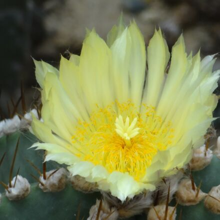 cactus flower, cactus, fairy, Sony DSC-HX10