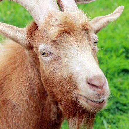 animal, close up, farm, Canon EOS 1100D