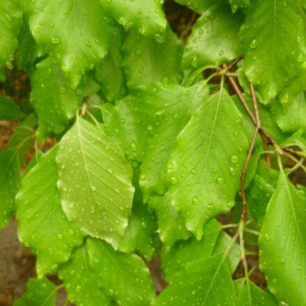 leaves, drops, nature, Panasonic DMC-FS10