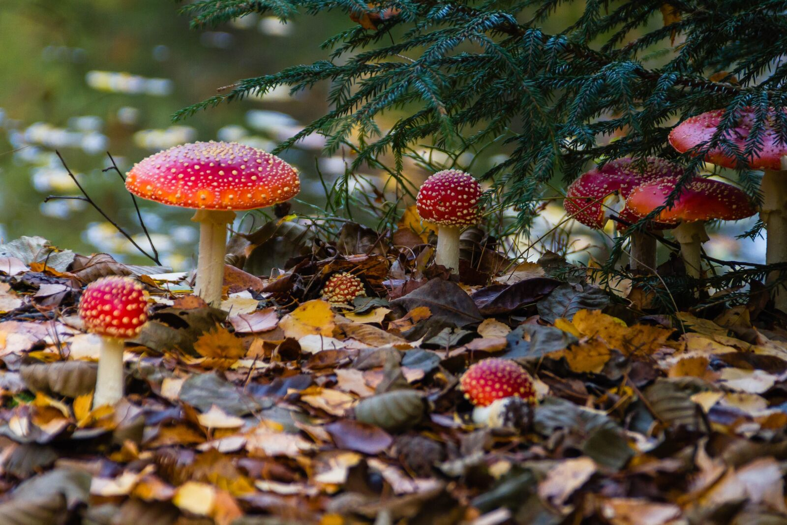 "Canon EOS 7D sample photo. ""Fly agaric, mushroom, toxic"" photography"