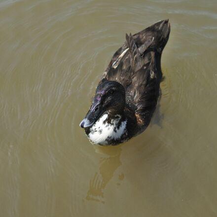 duck, pond, bird, Nikon 1 J5