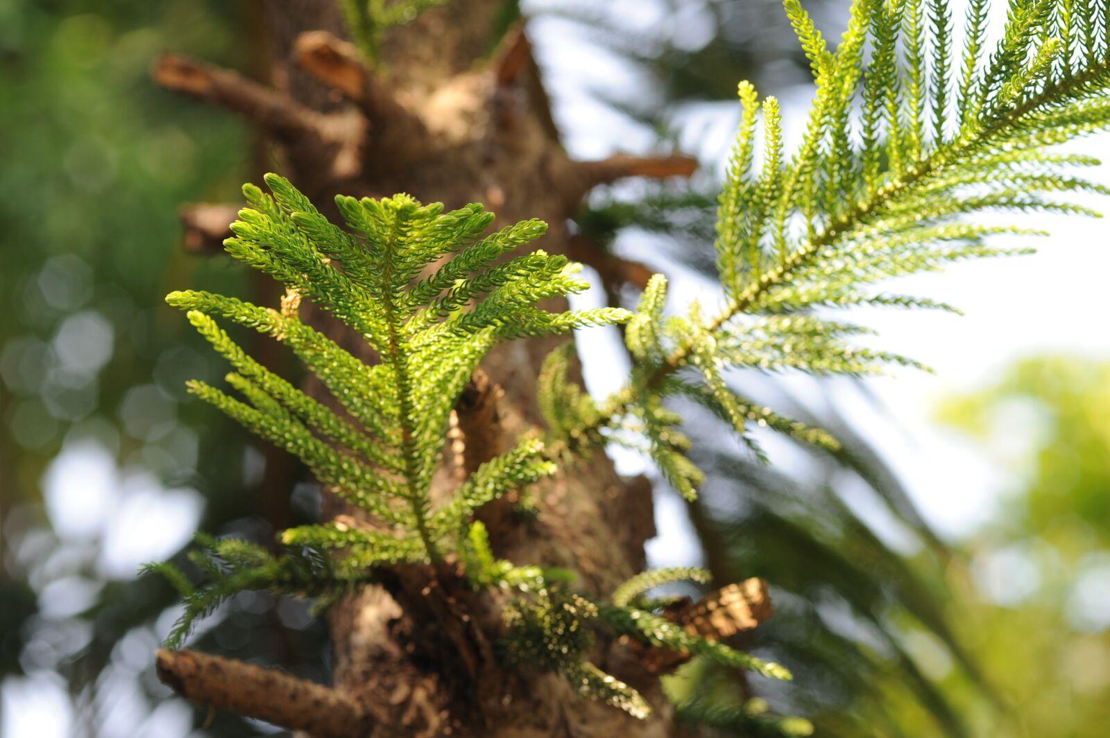"Nikon D700 sample photo. ""Pine tree, the leaves"" photography"