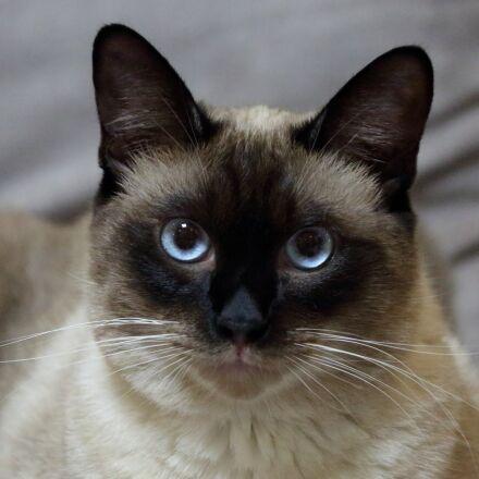 cat, pets, siam, Canon EOS 5D MARK III