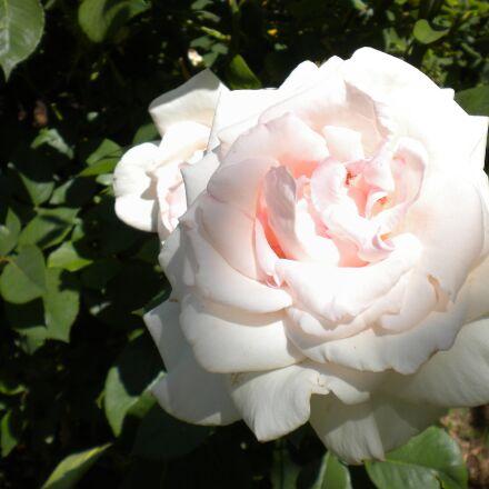 rose, flower, white, Nikon COOLPIX S220
