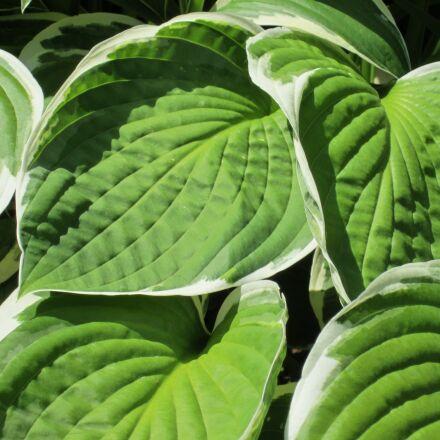 hosta, green, garden, Canon POWERSHOT ELPH 100 HS