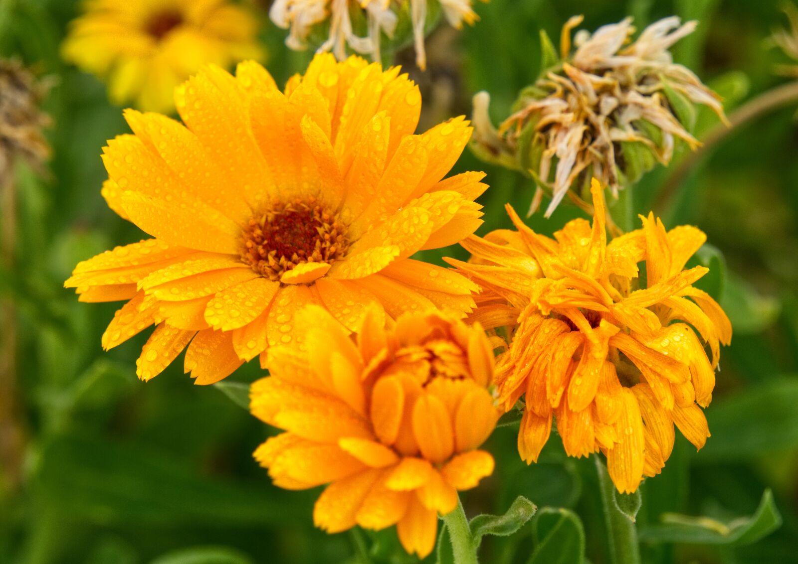 """Sony a6000 sample photo. """"Flower, flourished, orange"""" photography"""