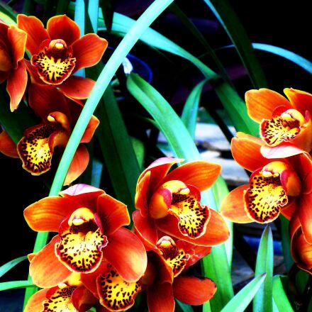 flower, orchid, colombian, Sony DSC-W510