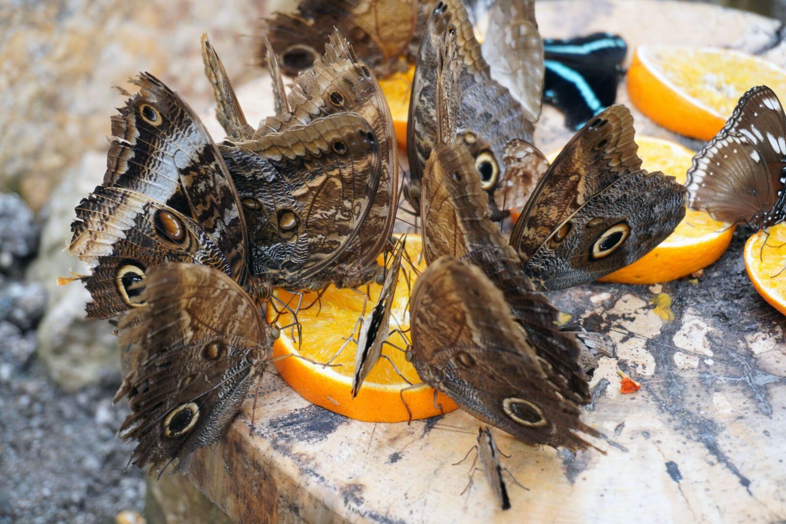 "Sony a6400 sample photo. ""Butterflies, feeding, orange"" photography"