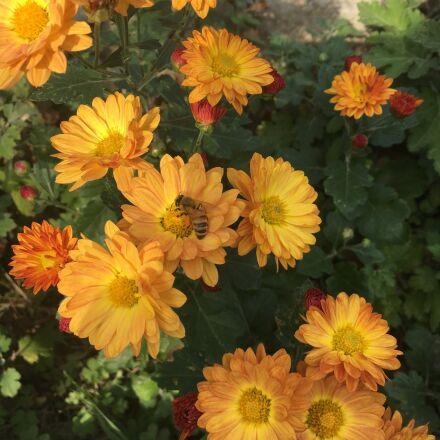 flowers, chrysanthemum, bee, Apple iPhone 6s