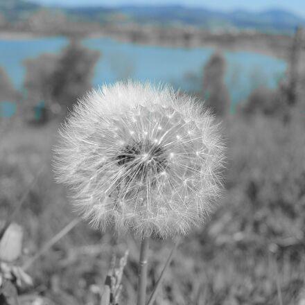 dandelion, tussilago farfara, close, Nikon 1 S1