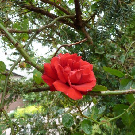rose, flower, red, Panasonic DMC-TZ18