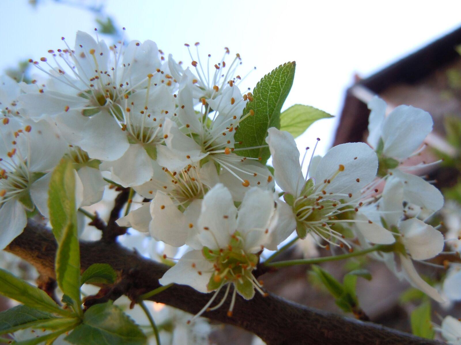 "Nikon Coolpix S8000 sample photo. ""Bloom, plum, flower"" photography"