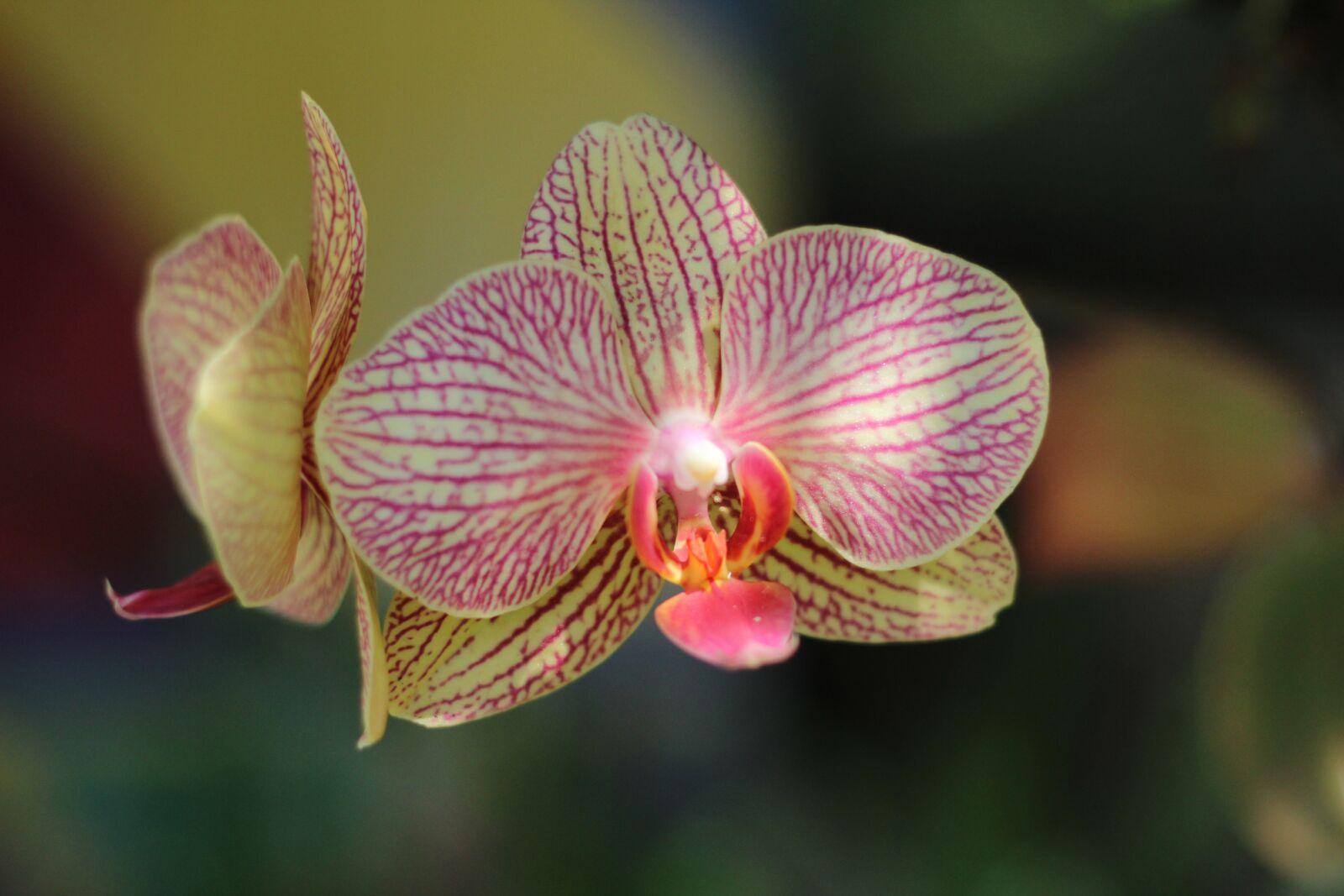 "Canon EOS 600D (Rebel EOS T3i / EOS Kiss X5) sample photo. ""Flower, orquidea, orchid"" photography"