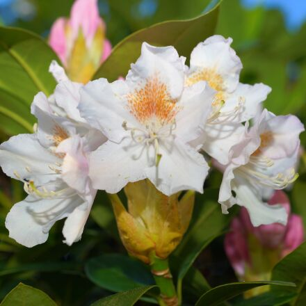 rhododendron, white, nature, Sony SLT-A99V