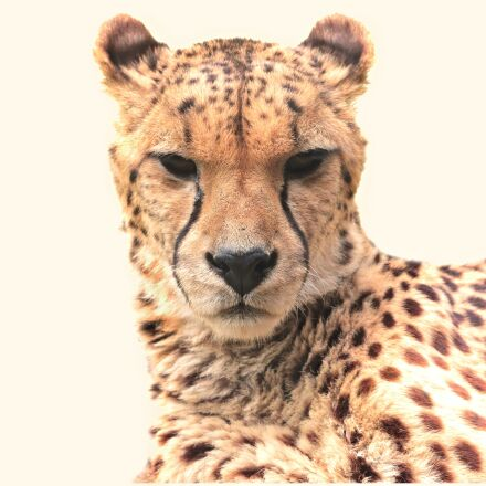 cheetah, animal, nature, Canon EOS 80D