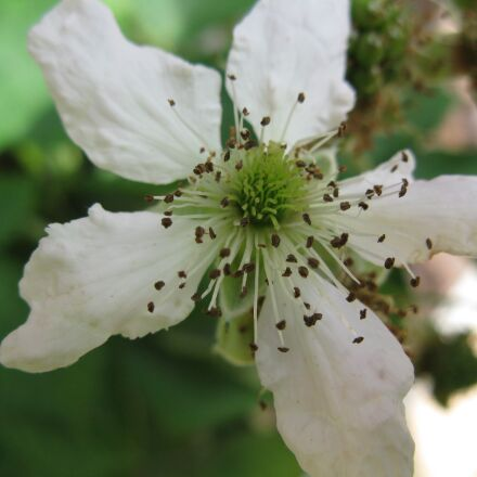 blackberry, blossom, bloom, Canon POWERSHOT A2000 IS